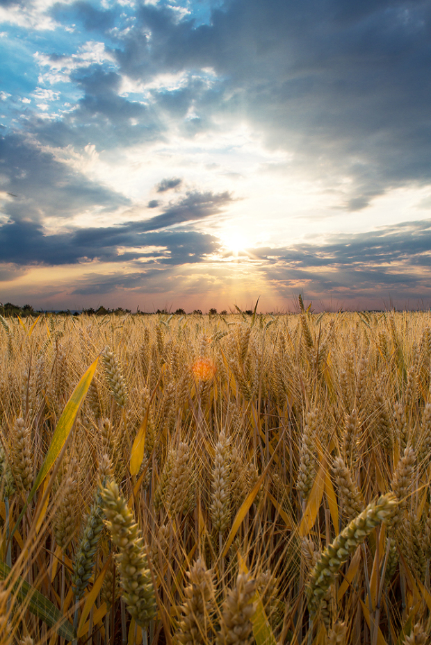 Kornfeld Sonnenuntergang