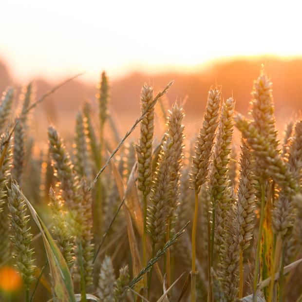 Kornfeld mit aufgehender Sonne