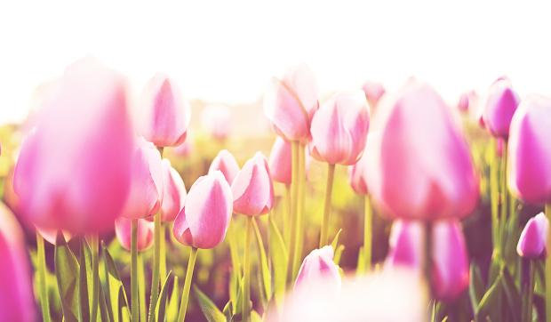 Tulpenfeld Sonne